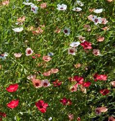 Linum grandiflorum Mix 5g