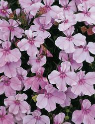 Lobelia erinus Riviera Lilac 0,5g - 1