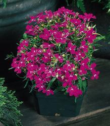 Lobelia erinus Riviera Rose 0,5g - 1