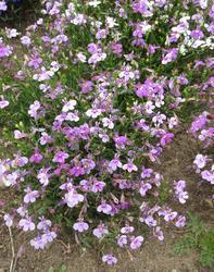Lobelia erinus pendula Cascade Lilac 0,5g