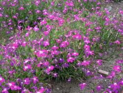 Lobelia erinus pendula Cascade Red 0,5g