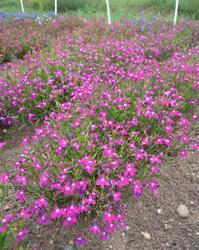 Lobelia erinus pendula Cascade Ruby 0,5g