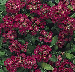 zzzLobularia maritima Royal Carpet 1g