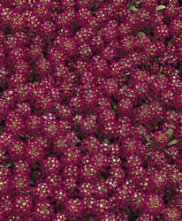 Lobularia m. Easter Bonnet Violet 1g - 1