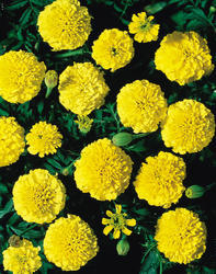 Tagetes patula Yellow Boy 1g