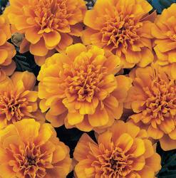 Tagetes patula Bonanza Orange 500s