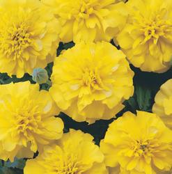 Tagetes patula Bonanza Yellow 500s