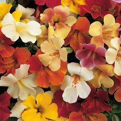 Mimulus Magic Mix F1 1000s - 1