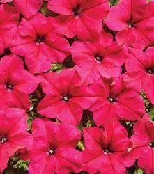 Petunia hybrida Mistral růžová 500s