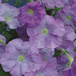 Petunia hybrida Dita F1 1/16g