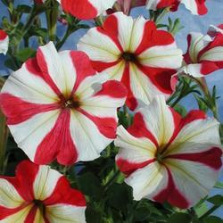 Petunia hybrida Henrietta F1 1/16g