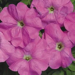 Petunia hybrida Lucie F1 1/16g