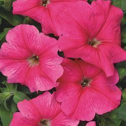 Petunia hybrida Rita F1 1/16g