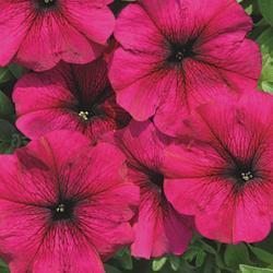 Petunia hybrida Sylvie F1 1/16g