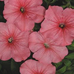 Petunia hybrida Yvetta F1 1/16g