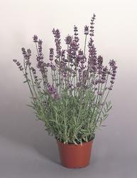 Lavandula ang. Munstead Variety 1000 seeds - 1