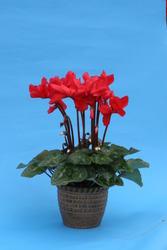 Cyclamen p. polypetallum Orfeus 50s