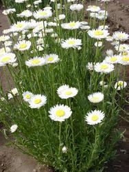 Helipterum roseum bílé 1g