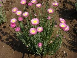 Helipterum roseum růžové 1g - 1