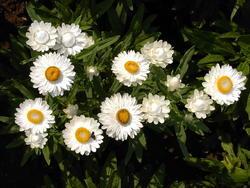 Helichrysum bracteatum Bílé 2g - 1