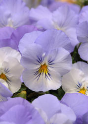 Viola Cool Wave Frost F1 200 seeds - 1