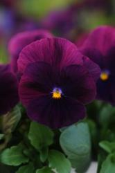 Viola Cool Wave Purple F1 200 seeds