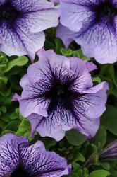 Petunia hybrida Daddy Blue F1 500 seeds