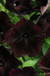 Petunia h. Debonair Black Cherry F1 250 pelet