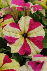 Petunia h. Sophistica Lime Bicolour F1 250 pelet - 1