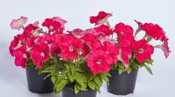 Petunia h. Petit tmavě růžová F1 250 pelet
