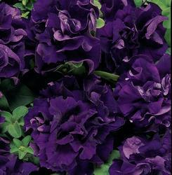 Petunia h. Double Cascade Blue F1 250 pelet - 1