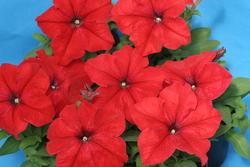 Petunia hybrida Mistral Šarlatově červená F1 500p