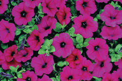 Petunia Fortunia Purple Wave  F1 250 pelet