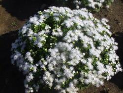 Ageratum houstonianum White 1g - 1