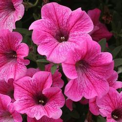 Petunia h. Rose Vein Velvet F1 50 pelet - 1