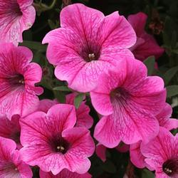 Petunia h. Rose Vein Velvet  F1 250 pelet - 1