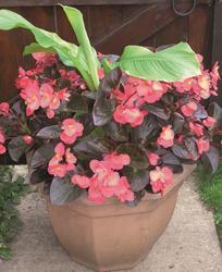 Begonia x b. Big® Rose Bronze Leaf F1 200 pelet - 1