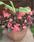 Begonia x b. Big® Rose Bronze Leaf F1 200 pelet - 1/2