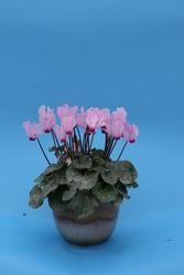 Cyclamen persicum mini Rosemarie 100s - 1