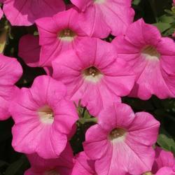 Petunia h. Rosy Velvet  F1 250 pelet - 1