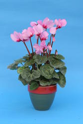 Cyclamen persicum Pink with eye 100 seeds