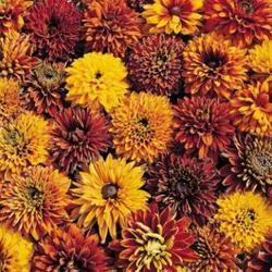 Rudbeckia hirta Cherokee Sunset 500 seeds