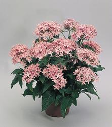Pentas lanceolata New Look Pink 250 pelet