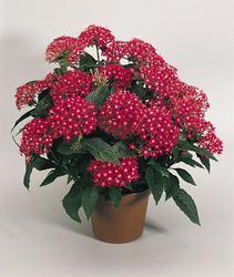Pentas lanceolata New Look Red 250 pelet