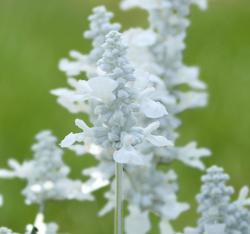 Salvia farinacea Evolution White 1000s - 1