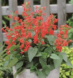 Salvia coccinea Lady in Red  250s