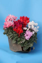 Cyclamen persicum mini Mix 100 seeds