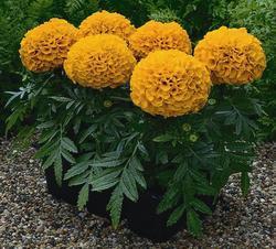 Tagetes erecta Antigua Orange F1 20s