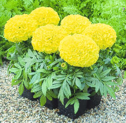 Tagetes erecta Antigua Yellow F1 20s