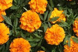 Tagetes patula Bonanza Deep Orange 500 seeds
